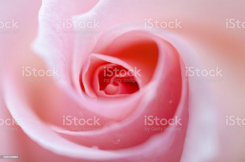 Macro closeup of a pink rose stock photo