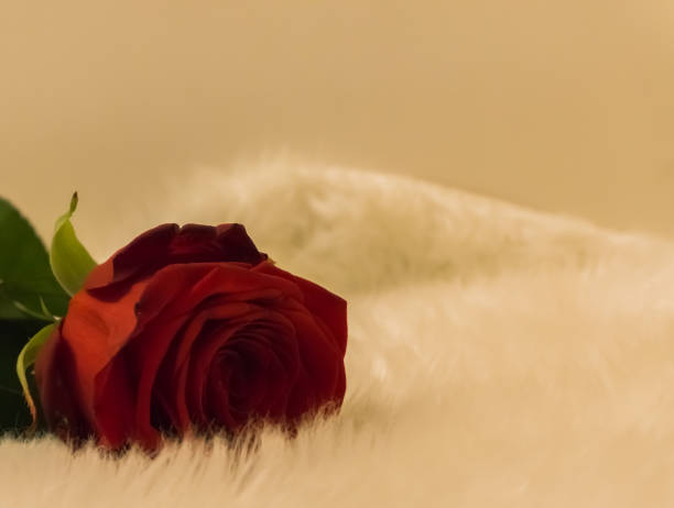 Macro closeup of a red valentines day rose laying on a white carpet picture id1065920058?b=1&k=6&m=1065920058&s=612x612&w=0&h=udorkzlsqpcuun oje nowbt8ojgs4j45vyss77kege=