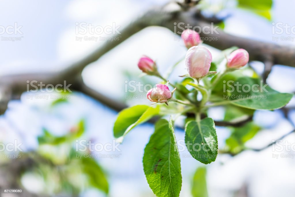 Macro closeup of apple blossoms buds on tree branch with green leaves in summer orchard stock photo