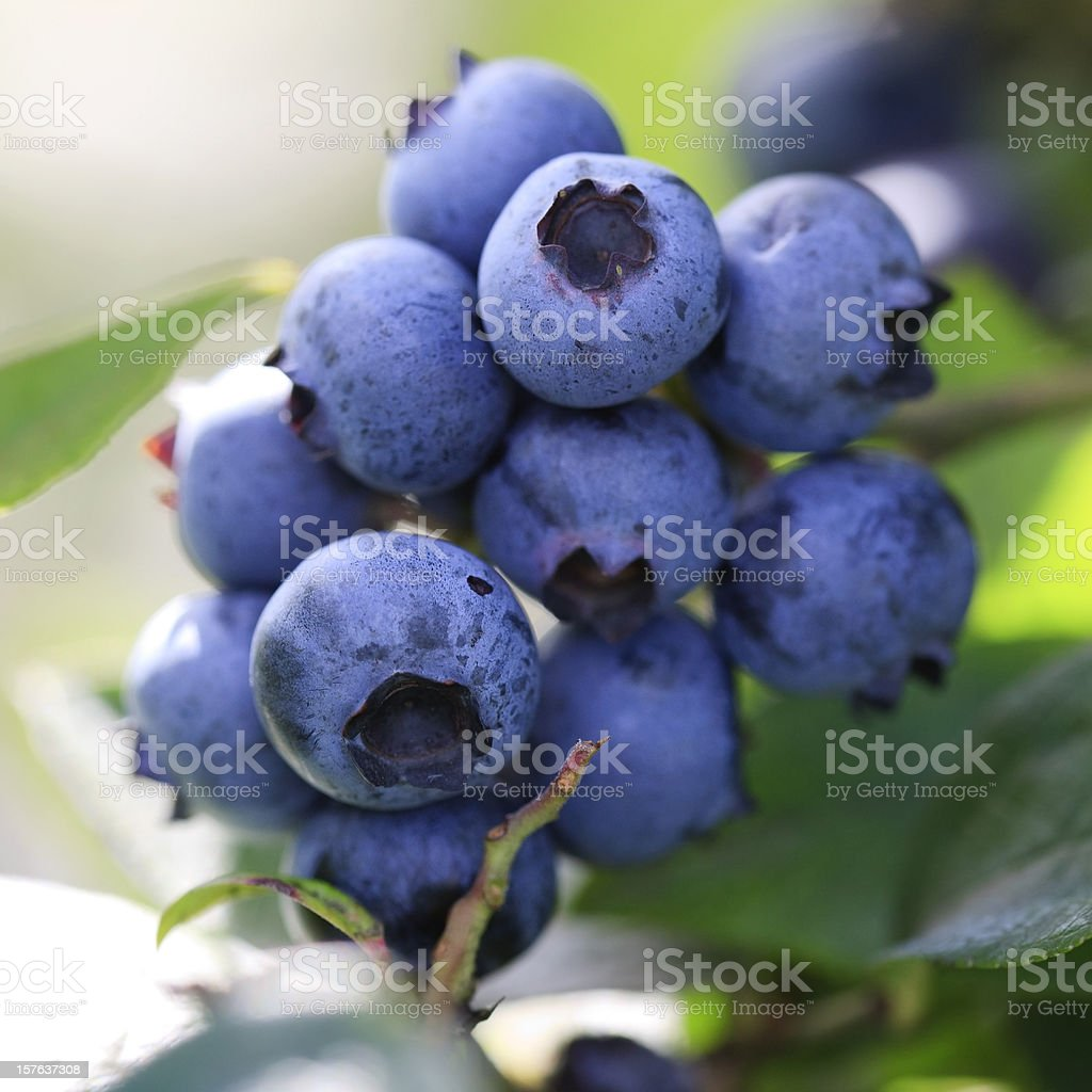 Macro close-up of blueberries on a branch, backlit royalty-free stock photo