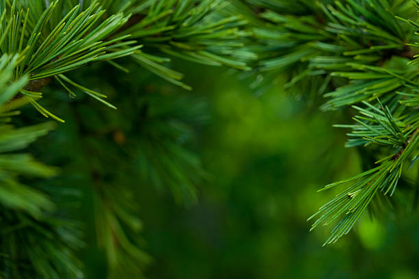 macro close-up of bright green fir tree branches - pine tree stock photos and pictures