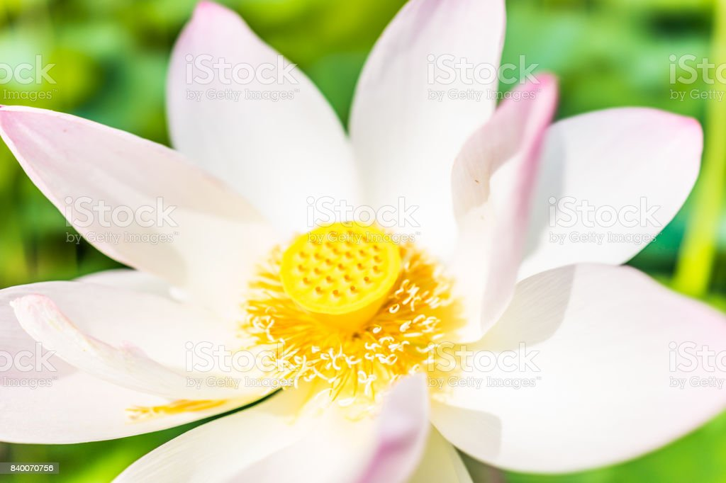 Macro Closeup Of Bright White And Pink Lotus Flower With Yellow
