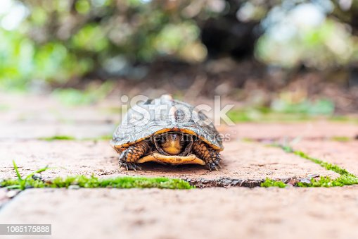 Macro closeup of cute small wood box turtle hiding in shell with paws in Virginia garden path scared face