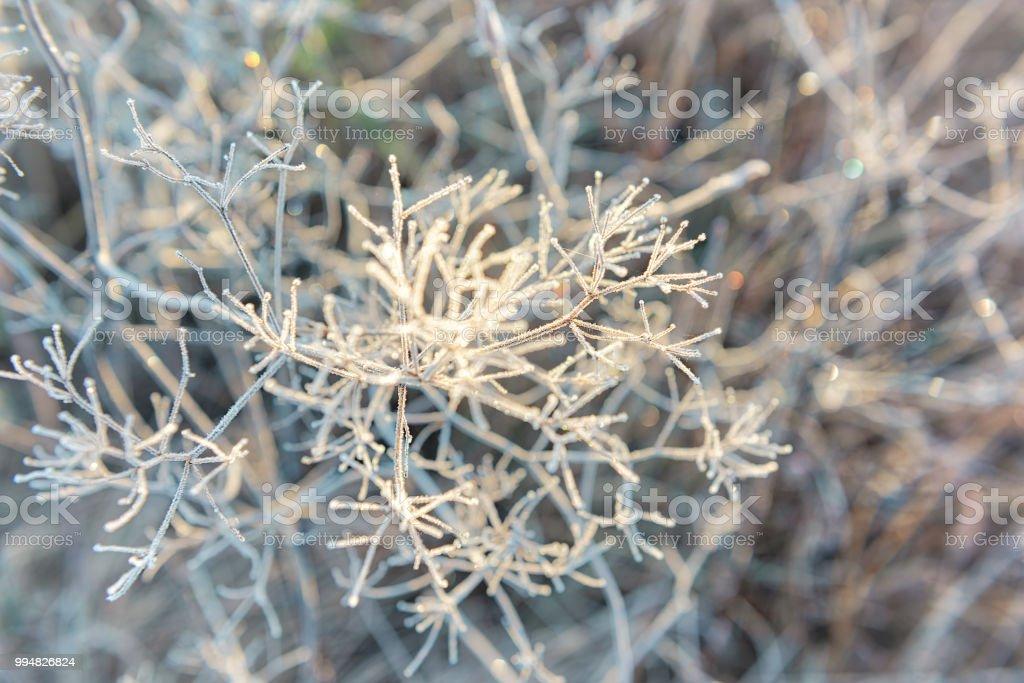 Macro close-up van vorst ijskristallen op droge paraplu plant in ochtend zonsopgang in de winter, herfst foto