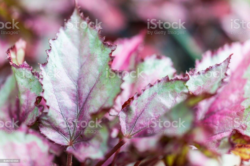 Macro close-up van groene en paarse rex begonia laat foto
