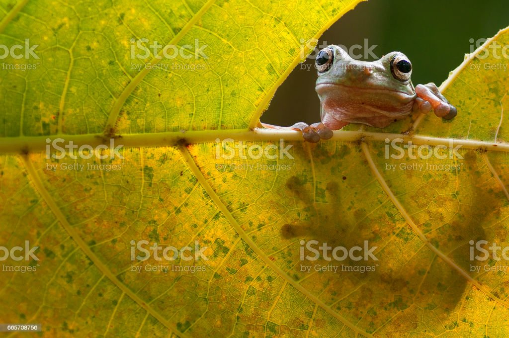 macro closeup of green forest tree frog sneak peek through a leaf stock photo