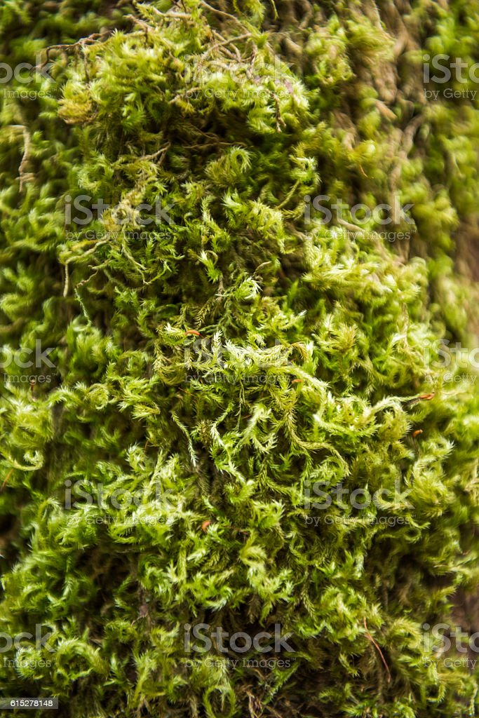 Macro Closeup of green moss on tree stock photo