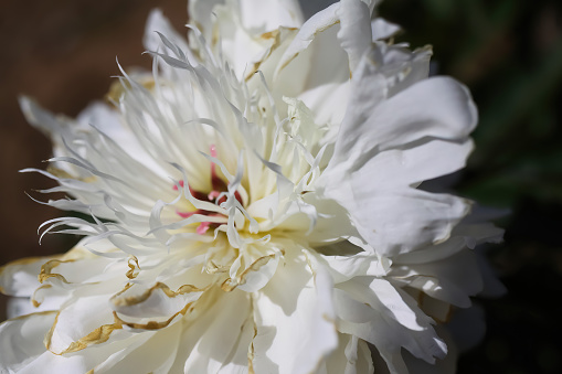 Macro closeup of isolated white peony blossom (paonia suffruticosa) with yellow stamen - Germany