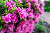 Spring Azalea Blossoms In Southern Woodland Garden