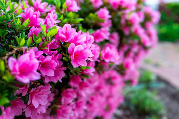 Macro closeup of many pink rhododendron flowers showing closeup of texture with green leaves in garden park stock photo