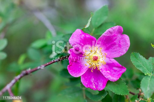 Macro closeup of one pink vibrant wild rose flower called Rosa woodsii in Snowmass Lake hike trail in Colorado in National Forest park