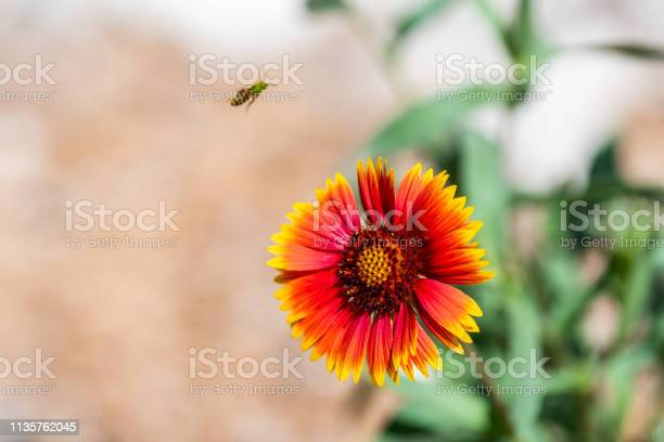 Photo of Macro closeup of one red and orange Indian Goblin Blanket Flower and bee flying with bokeh blurry background and vivid color