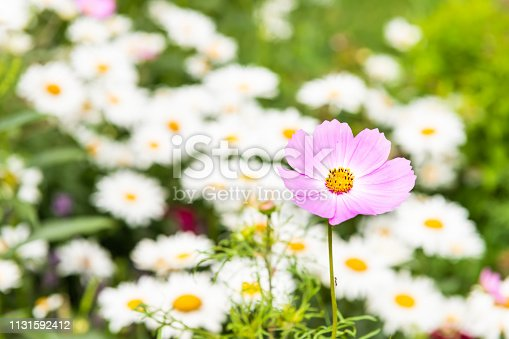 istock Macro closeup of pink cosmos flower and white and yellow orange chamomile daisy flowers in bokeh background growing in garden during summer season pattern 1131592412