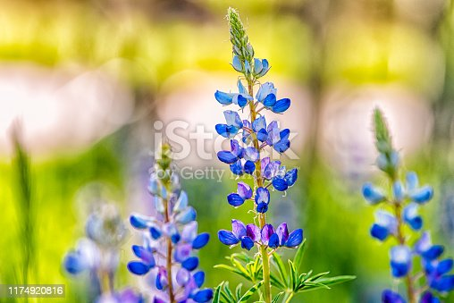Macro closeup of purple lupine flowers in small forest in Snowmass Village in Aspen, Colorado and many colorful wildflowers in Aspen grove