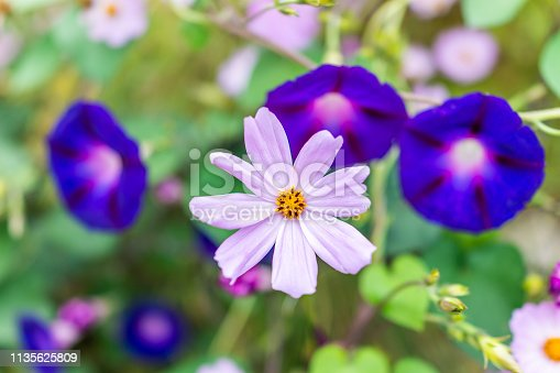 istock Macro closeup of purple pink one daisy and morning glory in bokeh blurry background in summer garden showing detail and texture 1135625809
