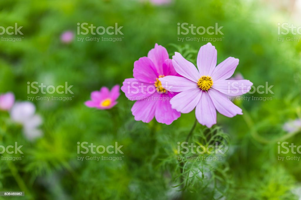 Macro closeup of two pink cosmos flowers showing detail and texture stock photo