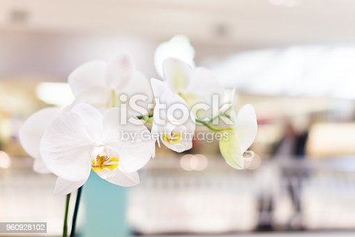 Macro closeup of white orchid flowers indoors inside building with bokeh background, yellow center