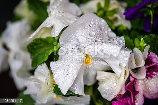 istock Macro closeup of white pansy flower detail and texture of wet dew rain water drops in Kyoto, Japan garden 1284291117