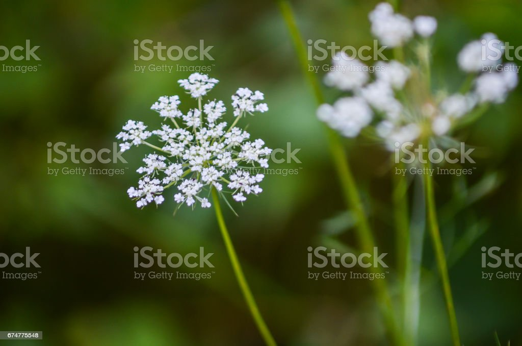 Macro closeup of white umbrella flowers stock photo