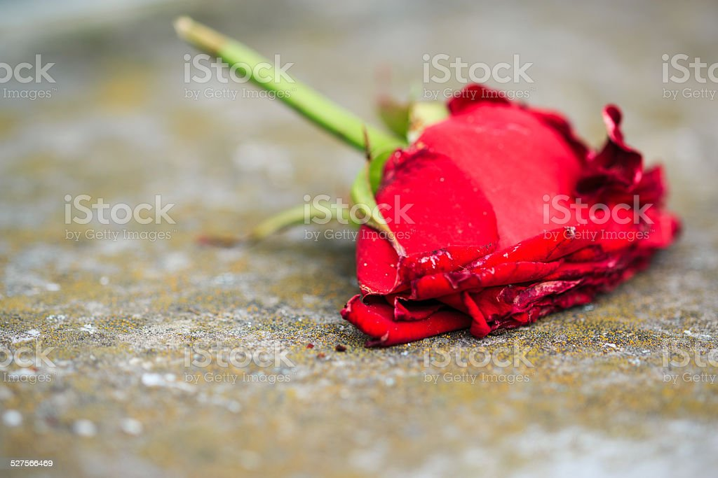 Macro close-up of withering dying red rose stock photo