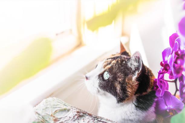 makro nahaufnahme junge katzengesicht und augen sitzen auf der fensterbank pflanzen nach draußen mit goldenen sonnenlicht in haus, wohnung, haus zimmer - lila, grün, schlafzimmer stock-fotos und bilder