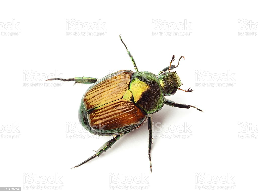 Macro Close-up Top View of a Japanese Beetle on White stock photo