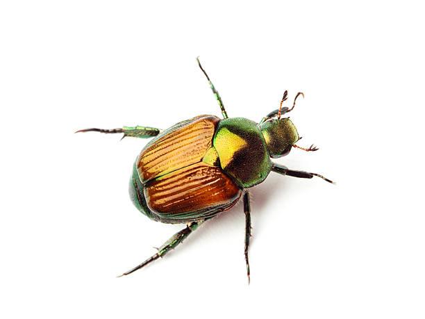 マクロクローズアップトップの日本のカブトムシ、ホワイト - 昆虫 ストックフォトと画像