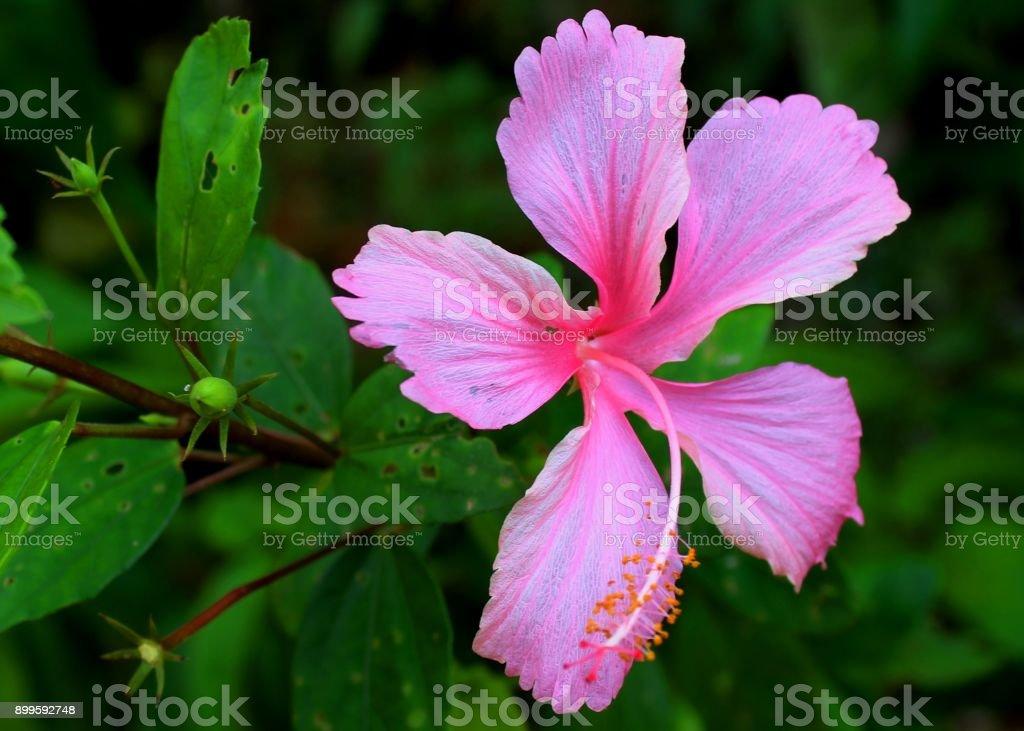 Macro Closeup View Of Beautiful Pink Color Shoe Flower Rose Mallow