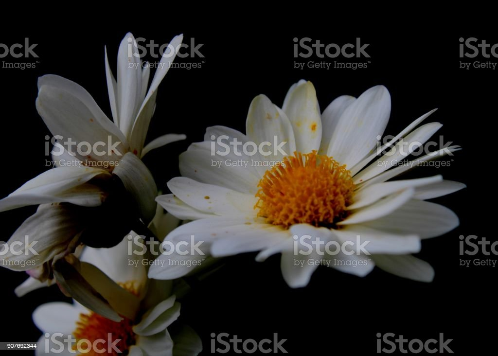 macro - close-up view of  beautiful white & yellow color common daisy flower  seen in a bungalow garden in Matale, Sri Lanka stock photo