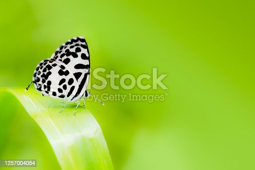 Macro common pierrot butterfly on green grass and green background. Picture Indicates the completeness of nature. Copy space