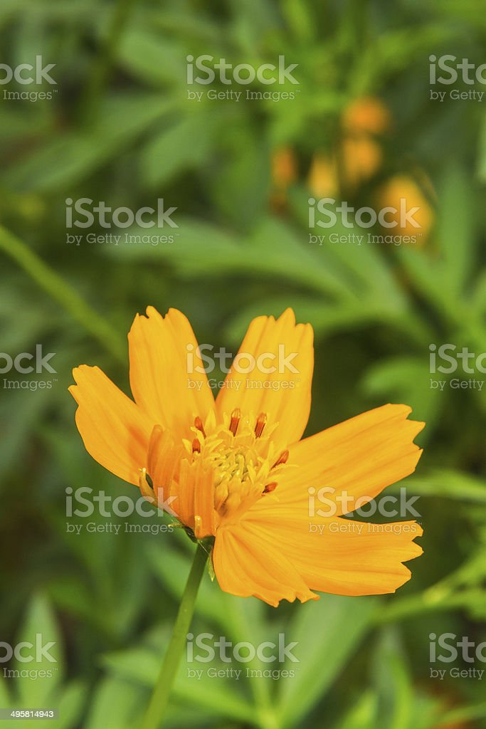 Macro Cosmos Flower stock photo