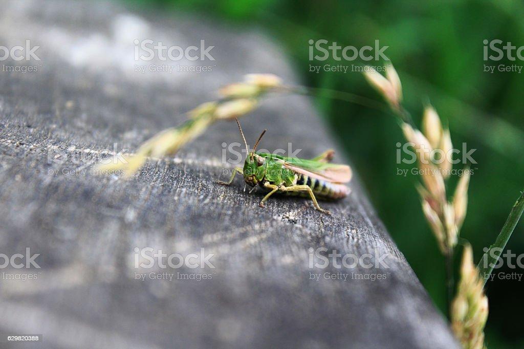 Macro Cricket stock photo