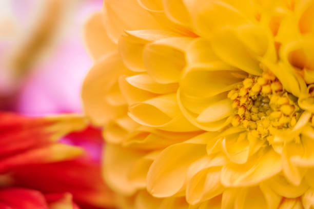 Macro Dahlia Photograph. Close up of center of yellow petals with blurred background. Floral background image. stock photo