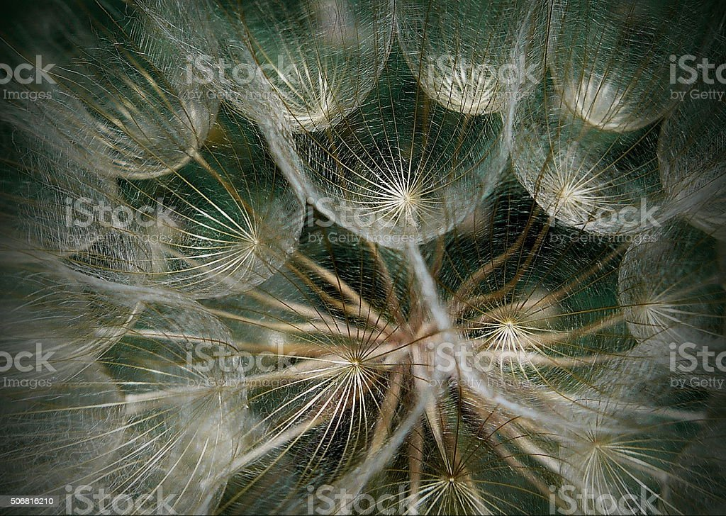 Macro dandelion stock photo