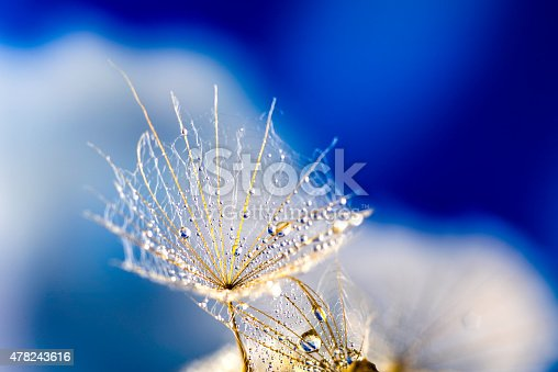istock Macro dandelion seed flies with water drops in abstract background 478243616