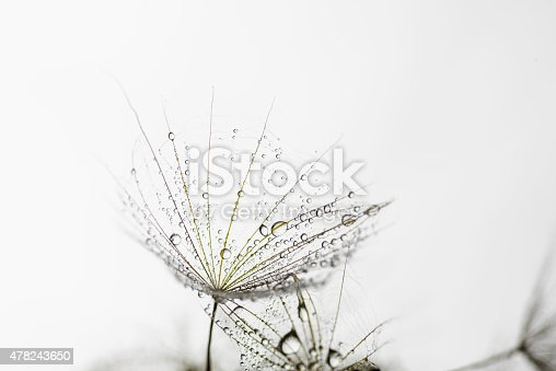 istock Macro dandelion seed flies with water drops in abstract background 478243650