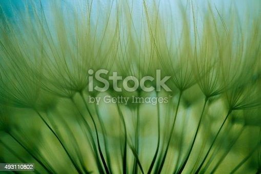 istock Macro dandelion seed 493110802