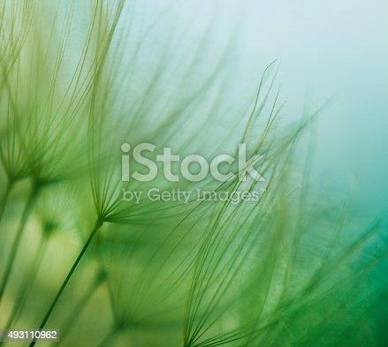 istock Macro dandelion seed 493110962