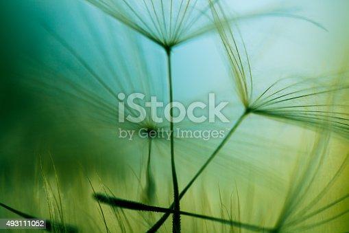 istock Macro dandelion seed 493111052