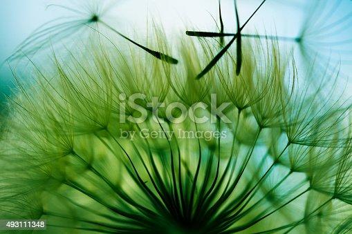 istock Macro dandelion seed 493111348