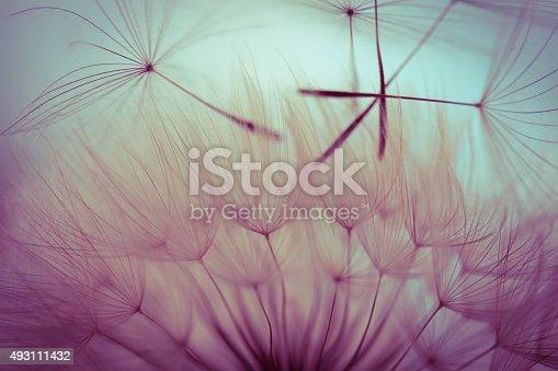 istock Macro dandelion seed 493111432