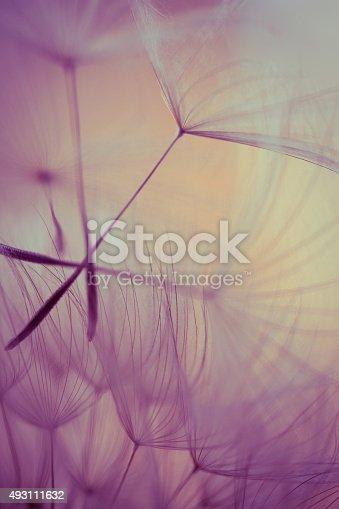 istock Macro dandelion seed 493111632