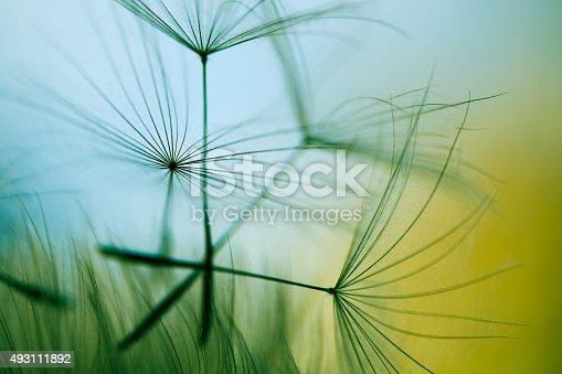 istock Macro dandelion seed 493111892