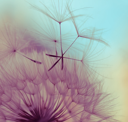 Silhouettes of dandelion seeds floating on the breeze against a pastel colored sky. The sky is blue at the top and fades to yellow and finally purple at the bottom.