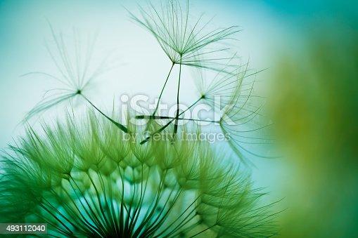 istock Macro dandelion seed 493112040