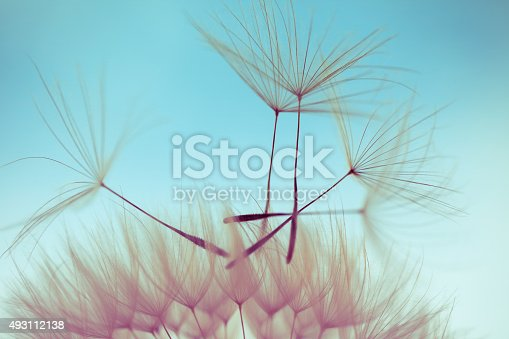 istock Macro dandelion seed 493112138