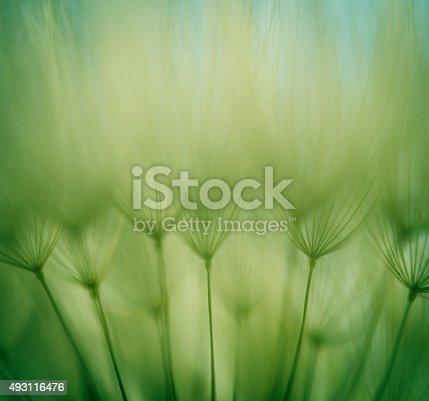 istock Macro dandelion seed 493116476