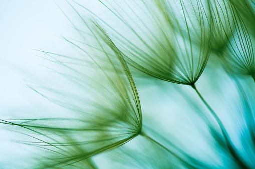 Macro dandelion seed