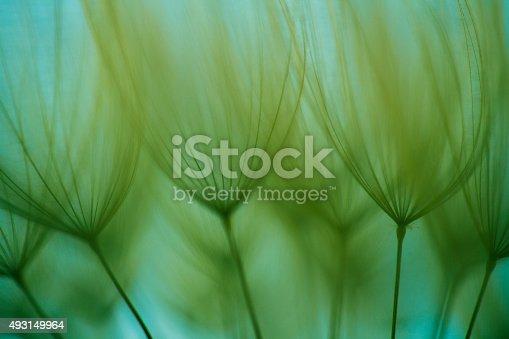 istock Macro dandelion seed 493149964