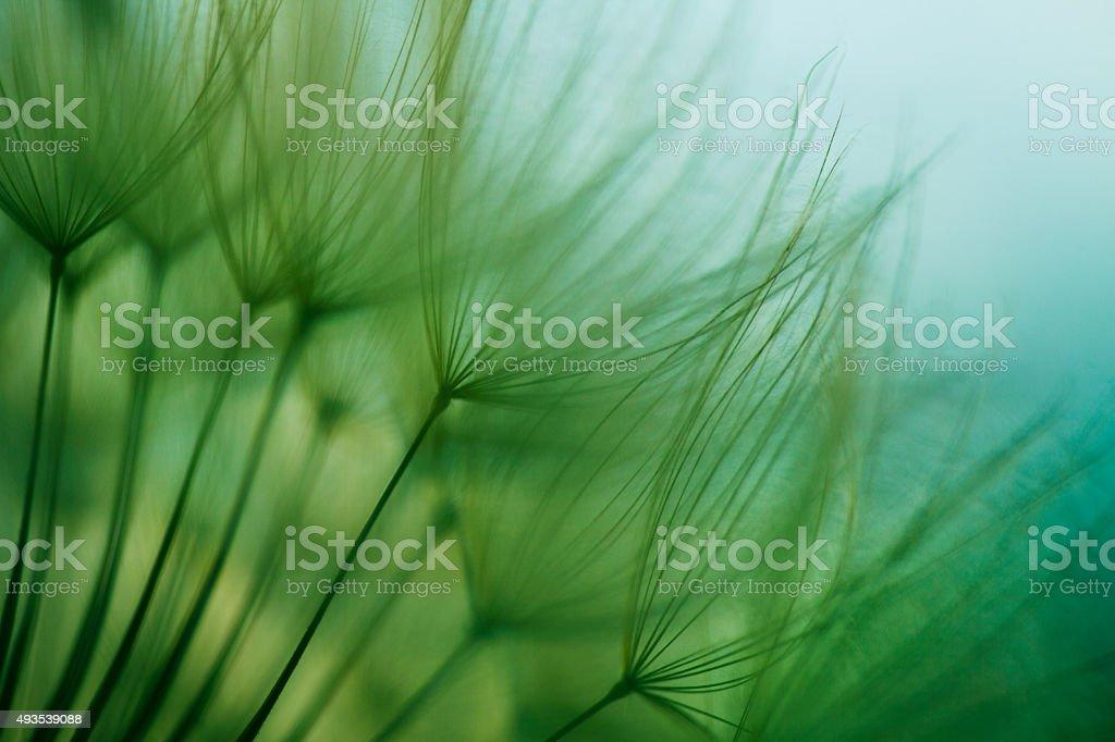 Macro semilla de diente de león - foto de stock